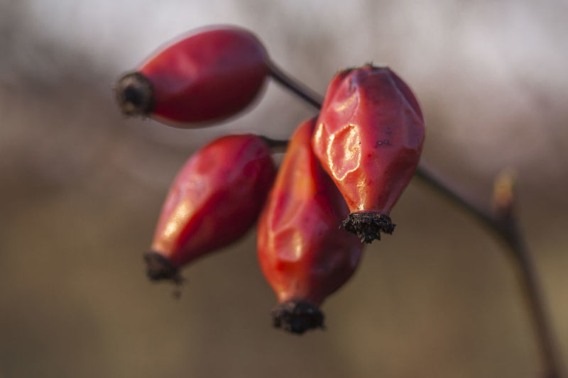 Bokeh Close-up Depth Of Field Fall Beauty Focus On Foreground Fruit Hanging Red Rose Hips Selective Focus Stem