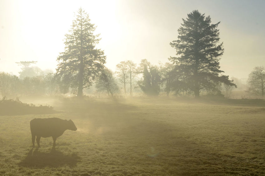 Moo In The Mist Morning Sunshine Silhouette