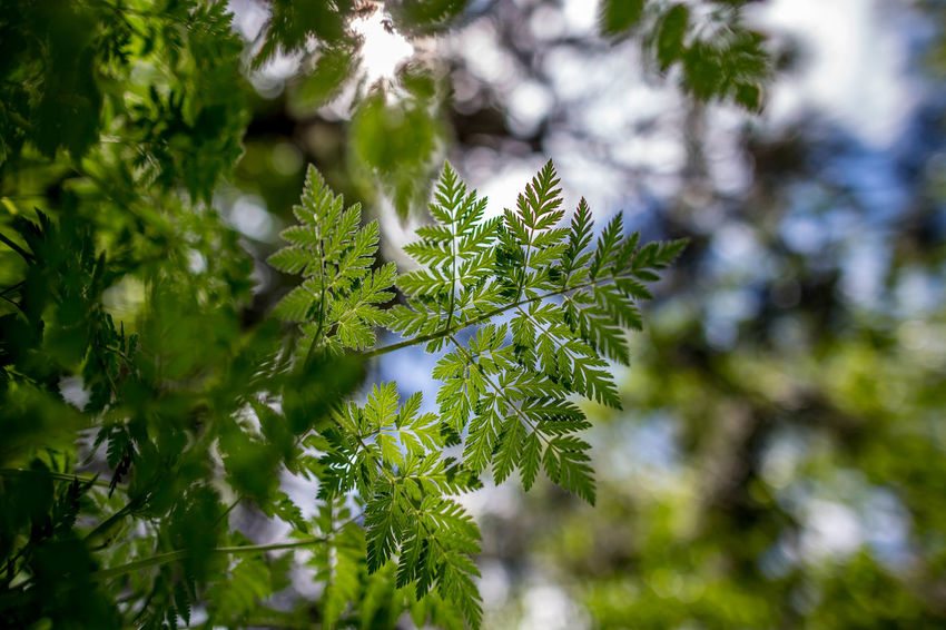 Beauty In Nature Branch Close-up Coniferous Tree Day Fir Tree Focus On Foreground Freshness Green Color Growth Leaf Leaves Low Angle View Nature Needle - Plant Part No People Outdoors Pine Tree Plant Plant Part Selective Focus Sunlight Tranquility Tree