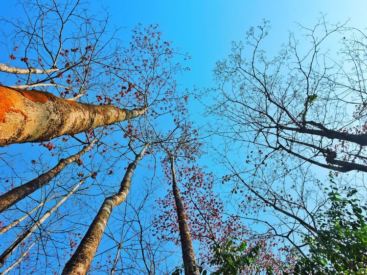 The Fall Tree Sky Nature Blue Clear Sky Low Angle View Outdoors Beauty In Nature Day No People Branch Beauty India Unseen My Travel Diaries Dried Leaves Nikon P600 Wild Trees Growth
