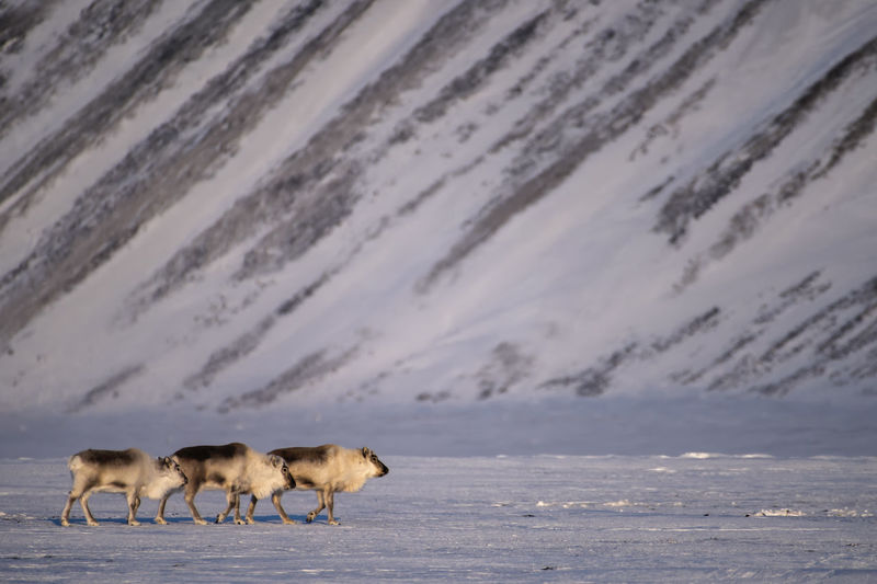 Three Arctic reindeer around Dicksonfjord Animal Themes Animal Mammal Group Of Animals Animal Wildlife Land Raindeer Arctic Raindeer Arctic Svalbard  Herd Animals In The Wild No People Beauty In Nature Snow Winter White