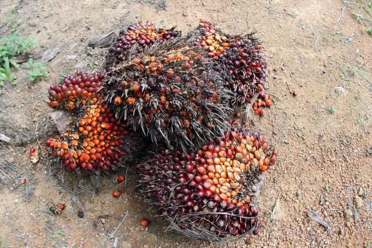 High Angle View Of Oil Palm Fruits