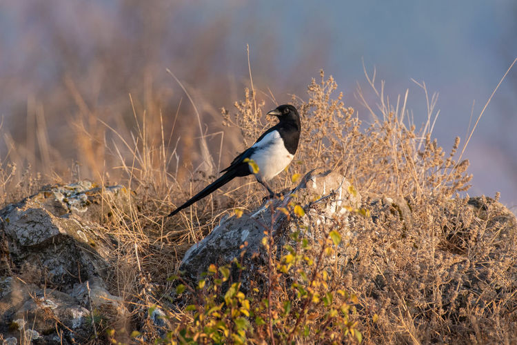 Eurasian magpie (pica pica) Nature and wild bird image Eurasian Magpie Pica Pica Animal Wildlife Animals In The Wild Bird One Animal Vertebrate Plant No People Day Nature Full Length Perching Outdoors Side View Grass Land Sitting Solid Profile View