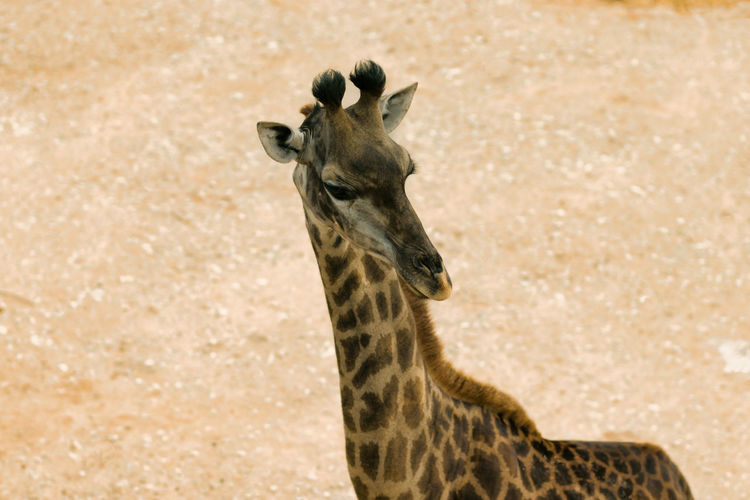 Portrait of giraffe standing outdoors