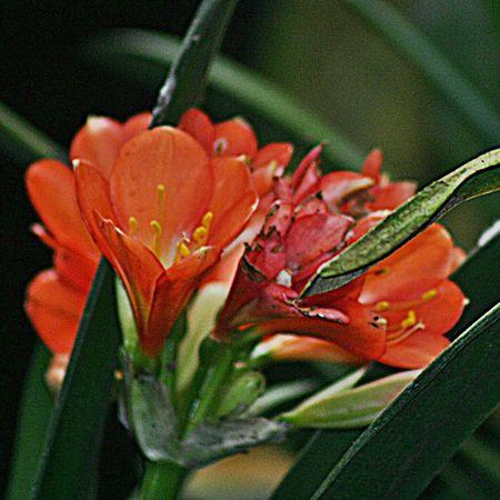 GOOD MORNING AND HAPPY MONDAY! Eyeemflowerlover Flowerforfriends Clivia Flower