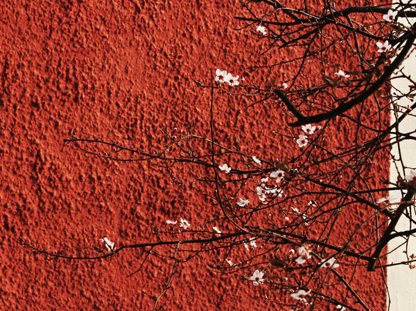 Branch Flowers Focus On Foreground Growth Nature No People Outdoors Plant Spring Wall White & Red