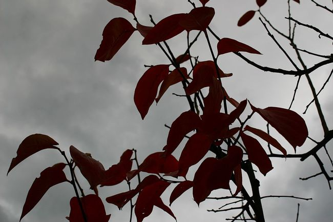 Greysky RedLeaves Autumn Fall Autunno  Cielogrigio Foglierosse Gothic Gotico TimBurtonStyle Timburton Beauty In Nature No People Nature Outdoors Tree Albero Foglie Cielo Sky Nuvole Clouds Rami Brunches