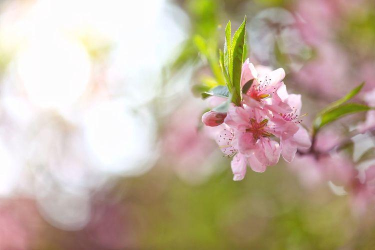 복사꽃 같은 상큼한 하루하루 . . #하루한컷 #복사꽃 #복숭아꽃 #남한산성 #5DMARK4 #백마엘 #EF100MMF28LMACROISUSM Flower Head Flower Tree Pastel Colored Springtime Branch Defocused Pink Color Summer Blossom