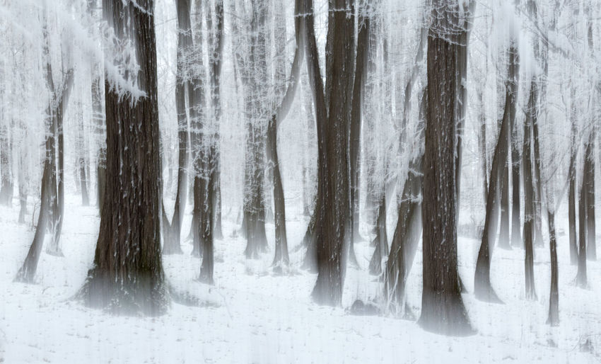Panoramic shot of frozen trees in forest in rodnei mountains