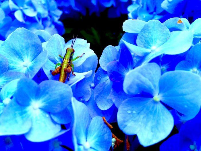 仮面ライダーと紫陽花……… 去年の梅雨時期。