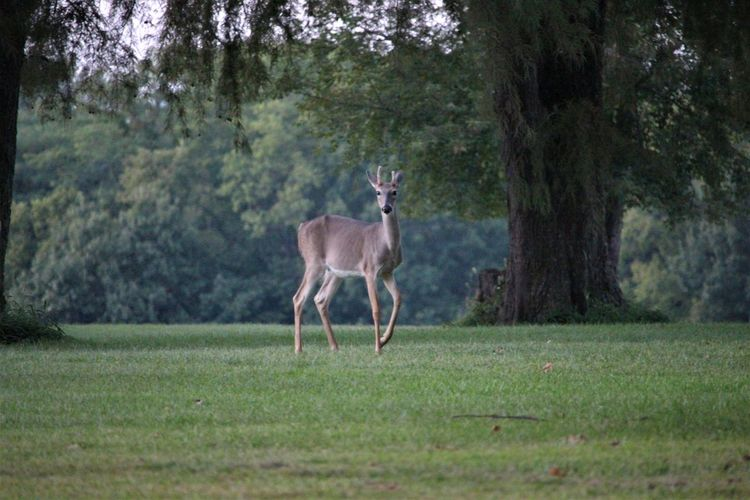 Young Buck Tree
