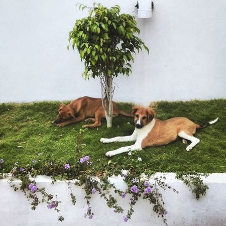 Homies making use of the grass!! Homies Dogs Stray Pets Friends Pretty Play Chill Indian Flowers Purple White Walls Apartment Guard Brothers Loyal Love Unconditional Bangalore Nammabengaluru Animallover India Indiapictures Photographersofindia indiagram igmasters igdogs instadaily compassion