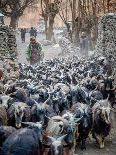 Goats Goat Shepherd Tibetan Culture Tibetan Village Tibetan  Tibet Upper Mustang Nepal Travel Nepal Winter Tree Day Plant Nature Cold Temperature Real People Snow Outdoors Lifestyles Women Leisure Activity Sunlight Land Warm Clothing Creativity EyeEmNewHere Going Remote