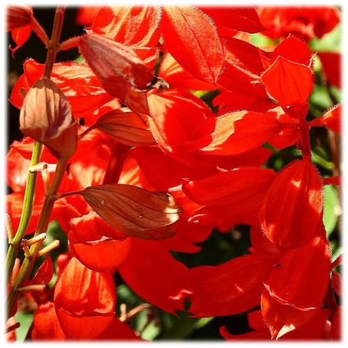 🎶 赤いサルビア🎶☺ Red salvia🎶☺ ※ ※ サルビア Salvia 赤 Red 花petals 植物Plants 日本Japan 自然Natur 綺麗Beautiful 癒しcomfort 休息Rest 安らぎpeace zen happinesspositivity flowersflower 🎶 flower_Japan_nagoya_mitu