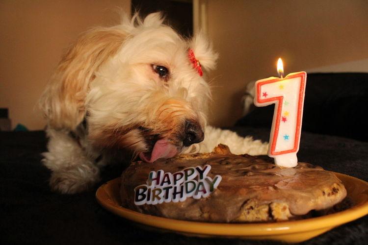 Birthday queen😍 Birthday Celebration Dog Love Enjoying Life Cheese! Cats And Dogs EyeEm Gallery Happy Birthday! Ready-to-eat