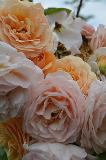 Close-Up Of Roses Bunch