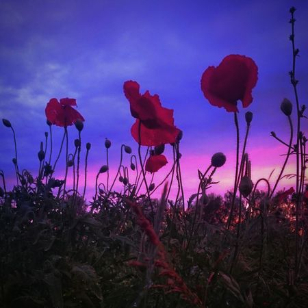 Field поле Summer природароссии Sunset_collection лето маки Poppies