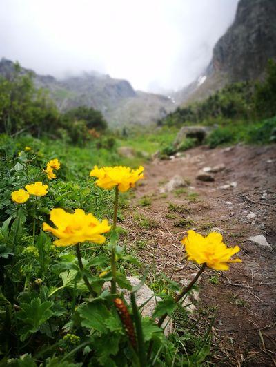 Flower Head Flower Mountain Rural Scene Fog Yellow Nature Reserve Leaf Herbal Medicine Uncultivated