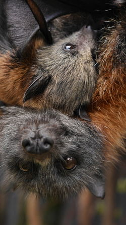 Animal Animals Australia Beauty In Nature Big And Small Care Child Curiousity Flying Fox Hair Mother Motherlove Nature Nature Photography Nature_collection Protection Of Mother Travel Wildlife