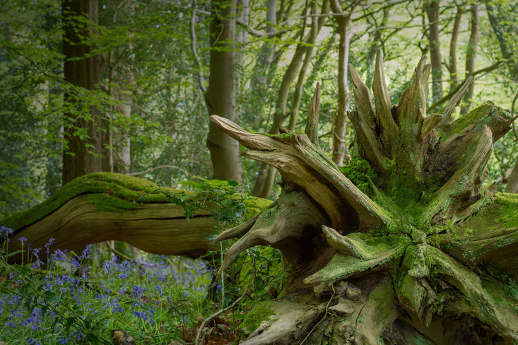 Roots Roots Of Tree Blue Bells Isle Of Man Rural Scene Flowers Spring Tree Forest Green Color Moss Fallen Tree Dead Tree Tree Trunk Bark Woods Springtime Decadence