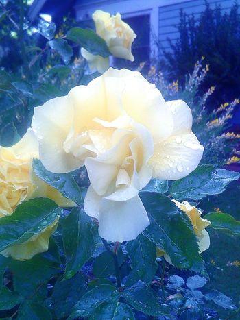 Rain Drops On Leaves Leaves🌿 Mother Nature Rain Drops On Flowers My Photography Flowers,Plants & Garden Rainy Days☔ Rain Drops On Petals Flower Porn Rain Drops On Rose