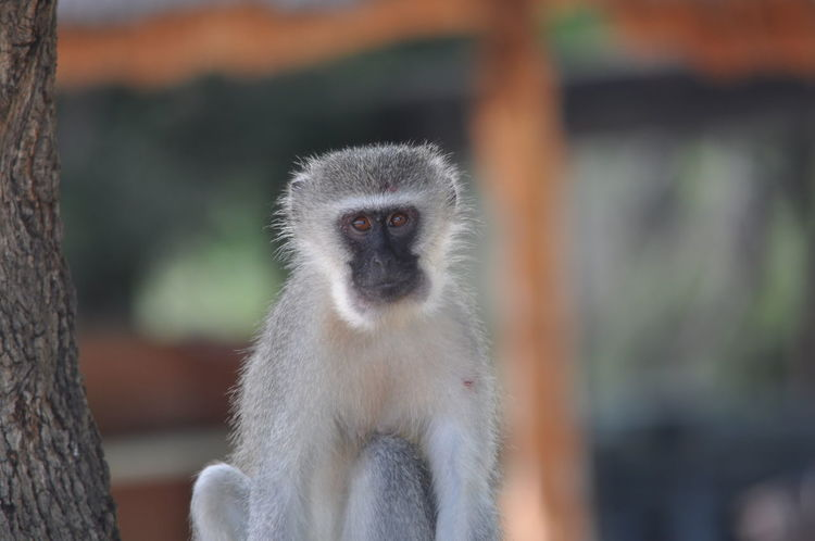 Animal Themes Animals In The Wild Close-up Day Hluhluwe-imfolozi Kwazulu Natal Mammal Monkey Nature No People One Animal Outdoors Portrait Primate South Africa Vervet Monkey Looking At Camera