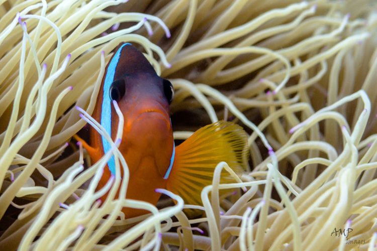 Clown close up Animal Themes Backgrounds Close Up Close-up Coral Detail Elégance Fish Nature Sea Life Softness UnderSea Underwater