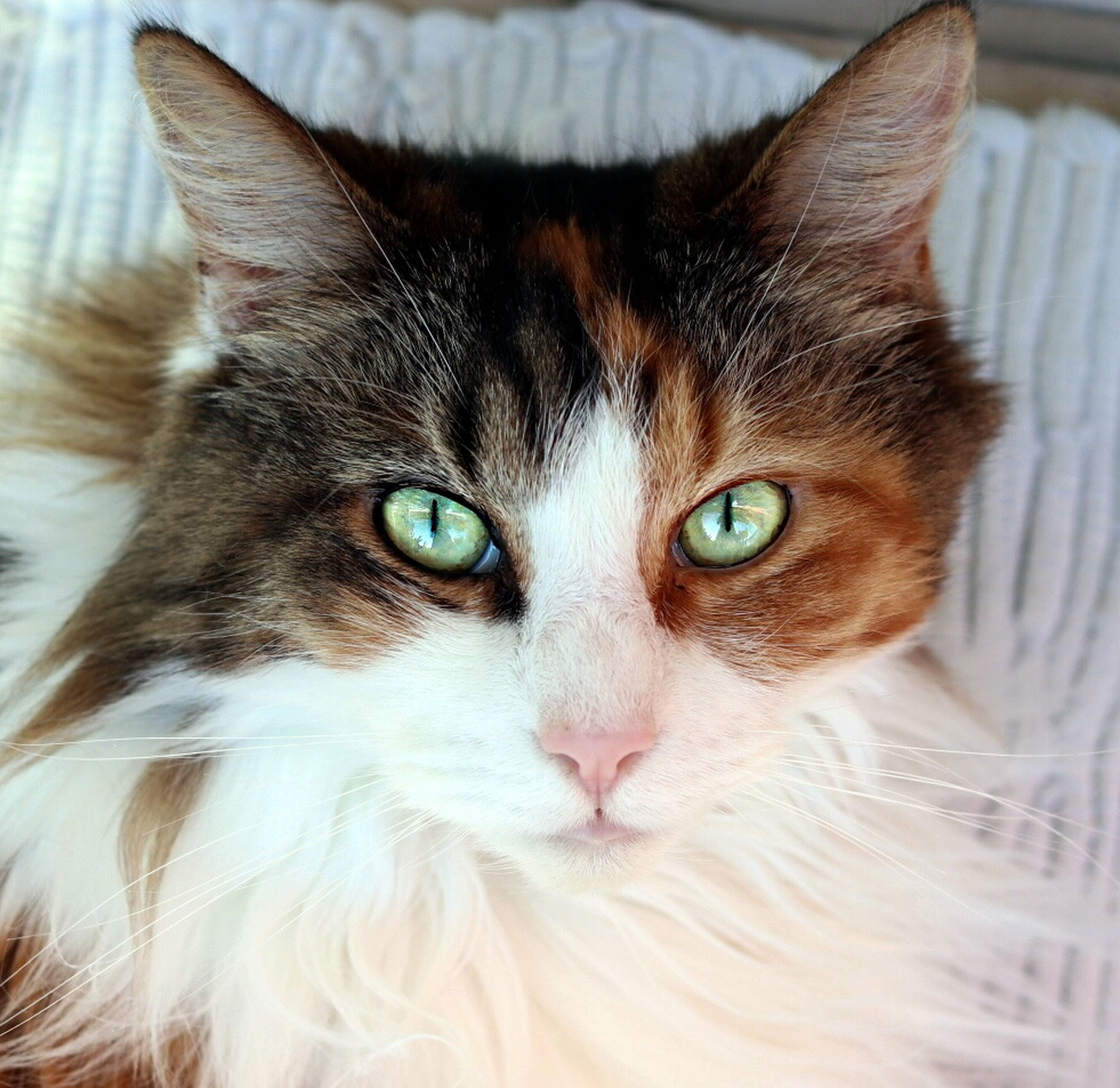 domestic cat, pets, domestic animals, feline, animal themes, indoors, mammal, looking at camera, one animal, whisker, portrait, close-up, no people, home interior, day