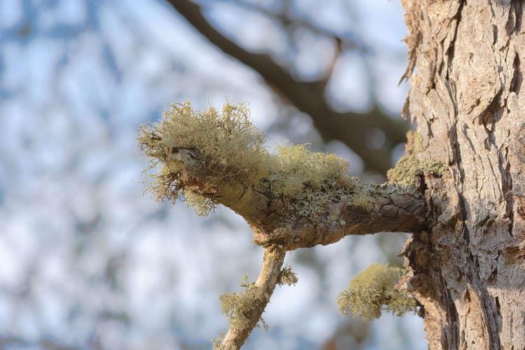 there is an area on my wlak where the large pine trees have an abundance of this lichen in lower branches. Poolewe Scotland 💕 Beauty In Nature Branch Close-up Day Growth Lichen On A Tree Nature No People Outdoors Tree