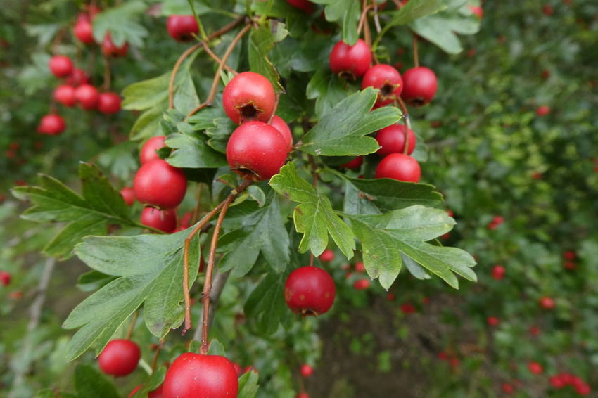 Branch Close-up Day Focus On Foreground Food Food And Drink Freshness Fruit Green Color Growing Growth Hawthorn Healthy Eating Leaf Nature No People Outdoors Red Rowanberry Tree