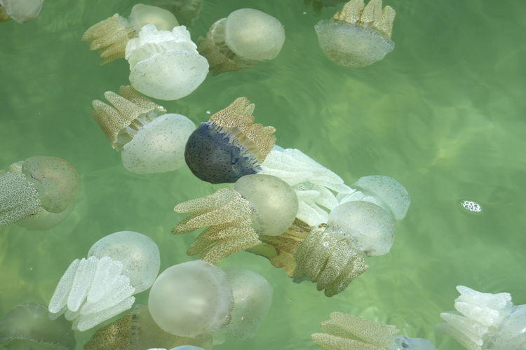 Animal Animal Themes Animal Wildlife Animals In The Wild Beauty In Nature Close-up Day Floating On Water Green Color Invertebrate Jellyfish Marine Nature No People Outdoors Sea Sea Life Swimming Turquoise Colored UnderSea Underwater Water