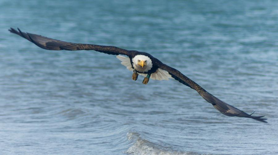 Full length of bald eagle flying over sea