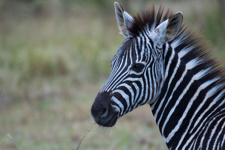 South Africa Kruger National Park, South Africa Kruger Sabi Sands Travel National Geographic Safari Africa Wildlife Zebra Close-up Headshot Portrait