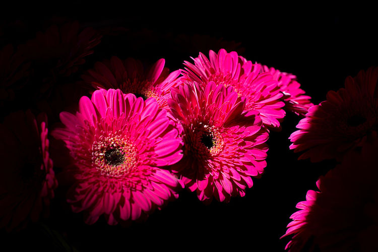 Backgrounds Bouquet Darkness And Light Flowers Gerbera Gerbera Daisy Holiday Love Nosegay Red Red Gerbera Roses Spring Valentine Valentine's Day  Valentinesday Welcome To Black