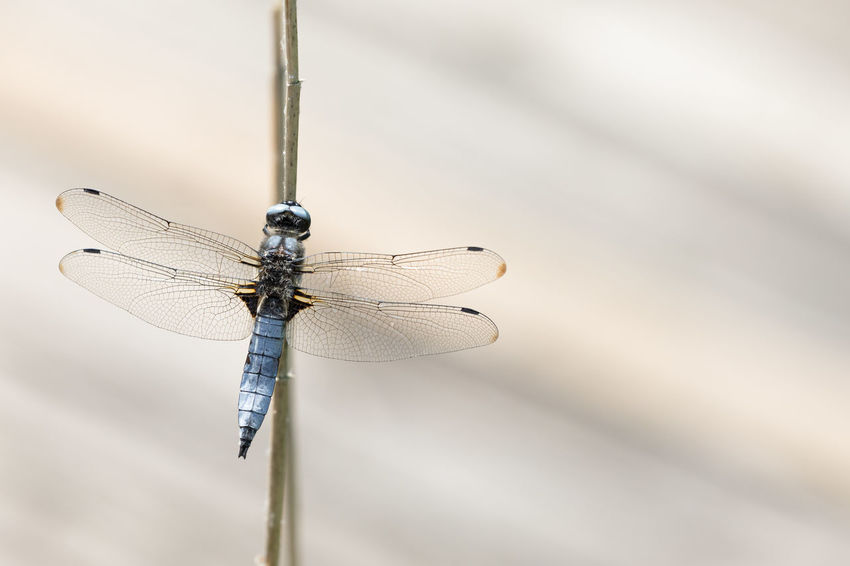Rear view of dragonfly sitting on a dry common reed stick against brown background Brown Background Copy Space Rear View Animal Animal Eye Animal Themes Animal Wildlife Animal Wing Animals In The Wild Beauty In Nature Brown Close-up Day Directly Above Dragonfly Focus On Foreground Fragility Insect Macro No People One Animal Outdoors Selective Focus Spread Wings Stick - Plant Part