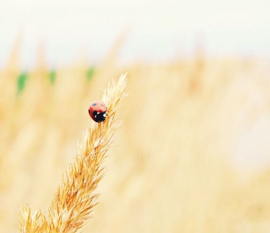Insect One Animal Animals In The Wild Animal Themes Close-up Nature Plant No People Outdoors Day Animal Wildlife Wheat Ladybug