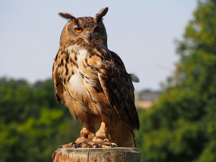 Portrait Of Eurasian Eagle Owl Perching On Wooden Post