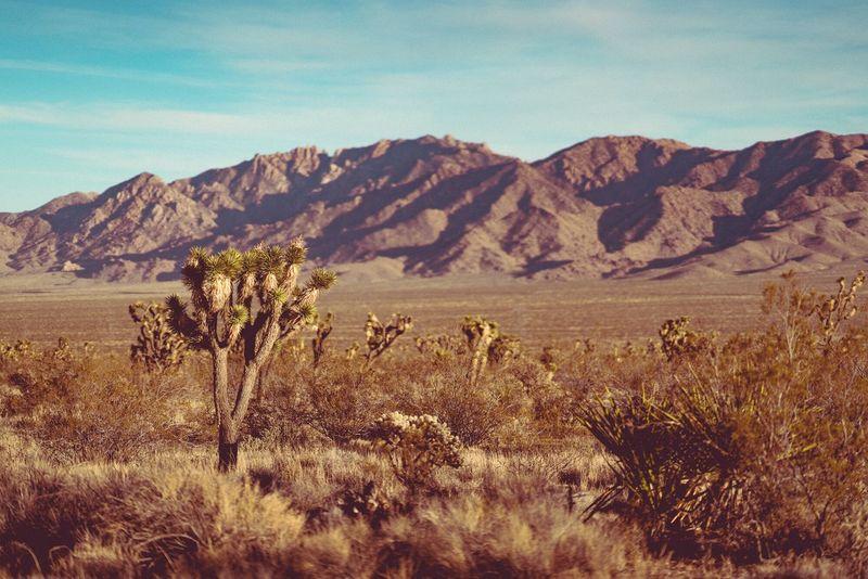 Mojave Desert Joshua trees