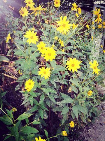 WeekOnEyeEm Flower Petal Flower Head Topinambur Plant Paint The Town Yellow Nature Beauty In Nature No People Yellow Composition Beauty In Nature Color