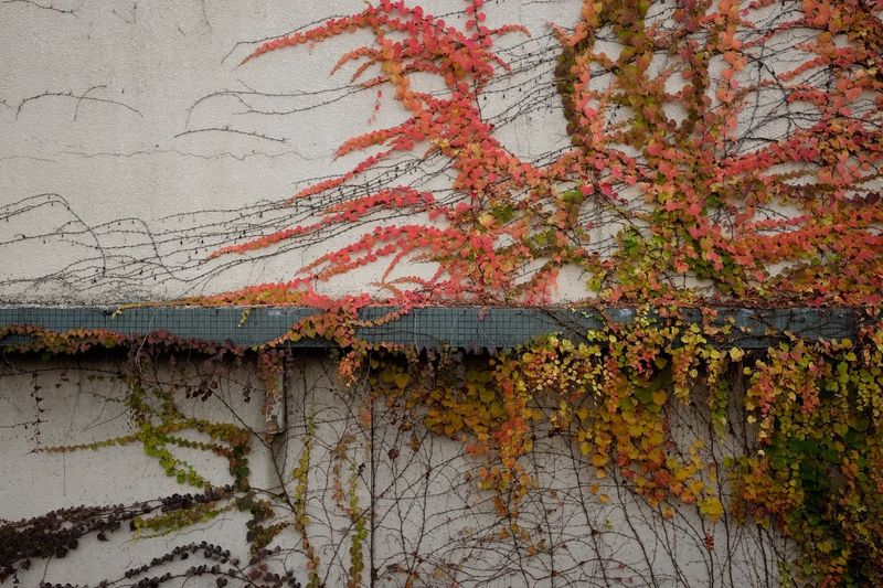 Close-up of ivy on tree during autumn