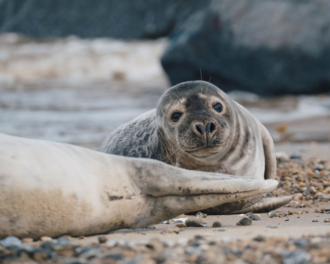 Close-up portrait of a seal on beach