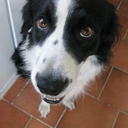 I Love My Dog Dog Border Collie Cute Pets