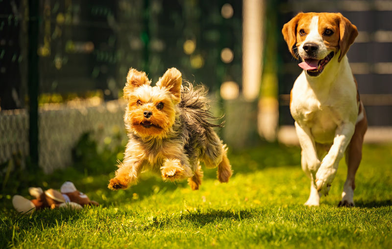 An amazing yorkshire terrier is having fun running and jumping towards camera. copy space background