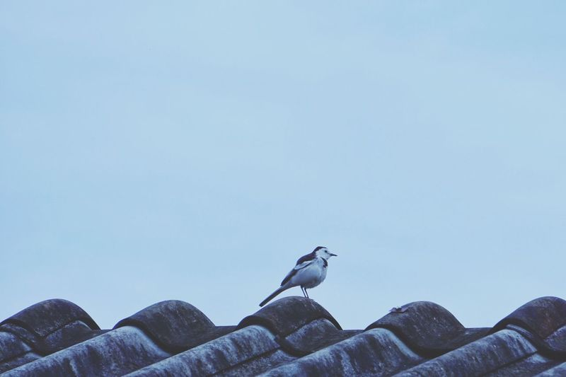 One bird standing on the roof Bird Animal Themes Animals In The Wild One Animal Clear Sky Low Angle View Animal Wildlife Nature Perching Outdoors No People Day Sky