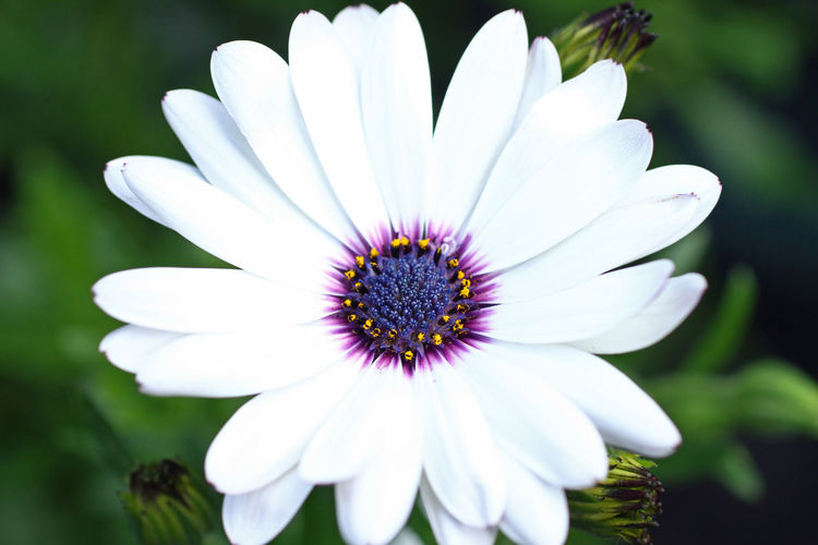 Beauty In Nature Blooming Close-up Daisy Day Flower Flower Head Focus On Foreground Fragility Freshness Growth In Bloom Macro Nature No People Outdoors Petal Pollen Selective Focus Stamen White White Color