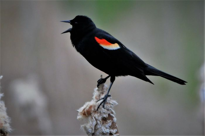 Animal Themes Animal Wildlife Animals In The Wild Beauty In Nature Bird Black Color Close-up Day Focus On Foreground Full Length Nature No People One Animal Outdoors Perching Raven - Bird Redwing Blackbird RedWingBird_Photography📷📹🎥 Redwingedblackbird Singing Bird