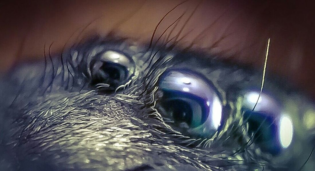 Reflections in the eyes of a spider Attack Of The Macro Collection! Macro Photography EyeEm Macro Macro Jumping Spider Eyes Spiderworld Arachnophobia Spider Bug Portrait Macro_collection Insect Paparazzi Macro Beauty Spiderland Macro Addict In The Eyes Of A Spider