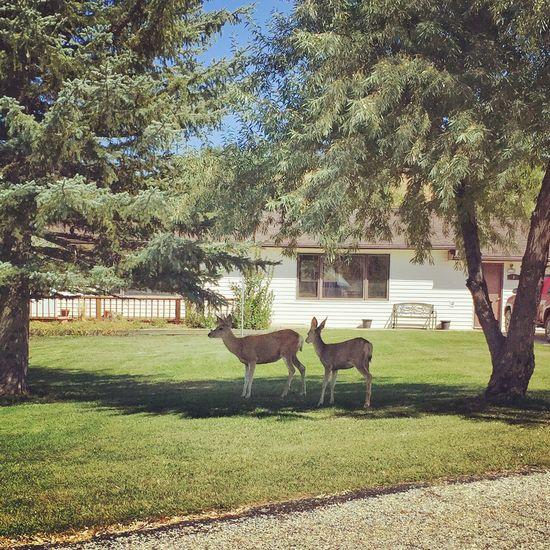 Chilling in the shade. Deer Sheridan Wyoming Wyoming Wildlife