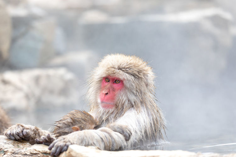 Japanese snow monkey in hot spring Snow Monkey Japanese Macaque Monkey Hot Spring Animal Themes Animal Primate Animals In The Wild Mammal Relaxation Animal Wildlife One Animal Vertebrate Cold Temperature Day Rock - Object Solid Nature No People Rock Snow Winter Outdoors Jigokudani-Snow-Monkey-Park Jigokudani