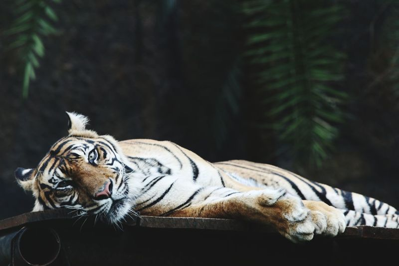 Tiger relaxing on a tree
